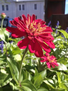 Красный цветок выглядит слегка розоватым