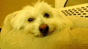 Замаскированная собака (The Ms. Jen, Калифорния)